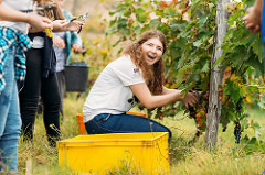 YEAs help local winemaker harvest grapes