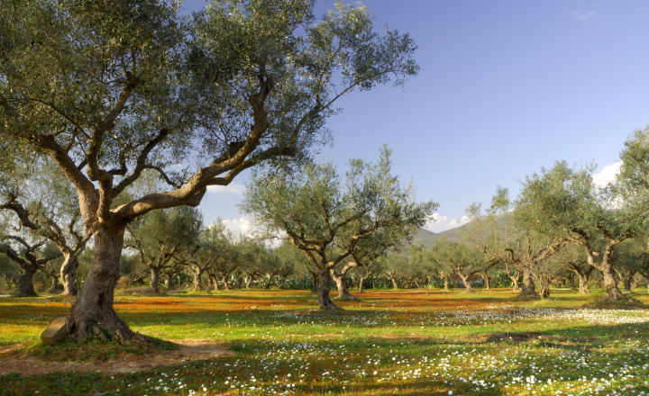 EU-funded ARTOLIO project launched to support small olive oil producers across the Mediterranean