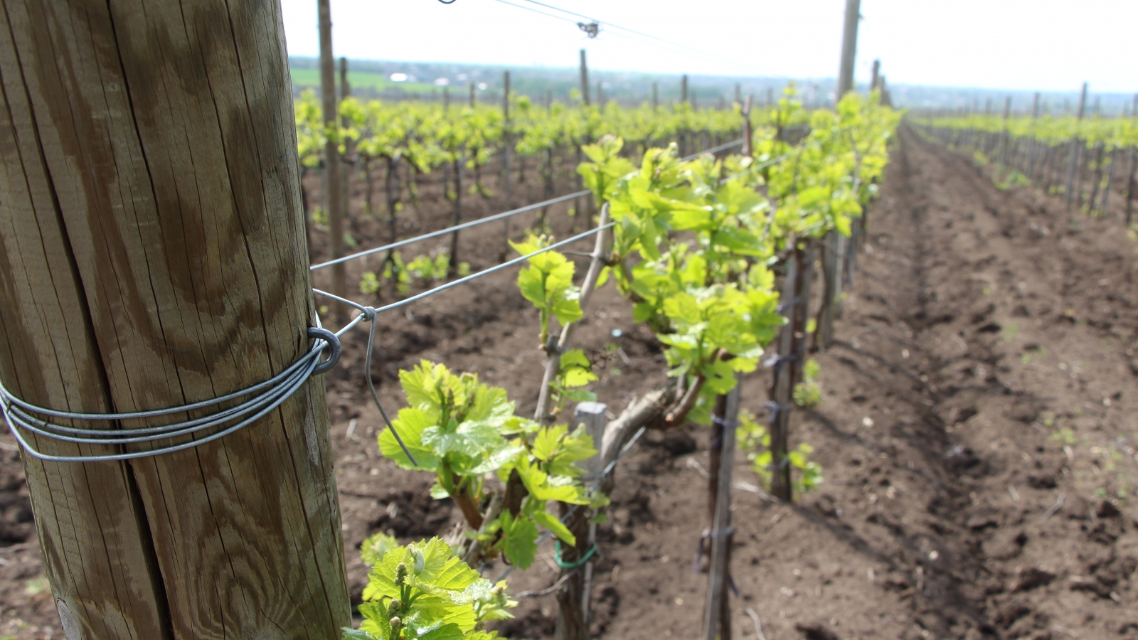 The new vineyards planted by Agrogled company in the South of Moldova
