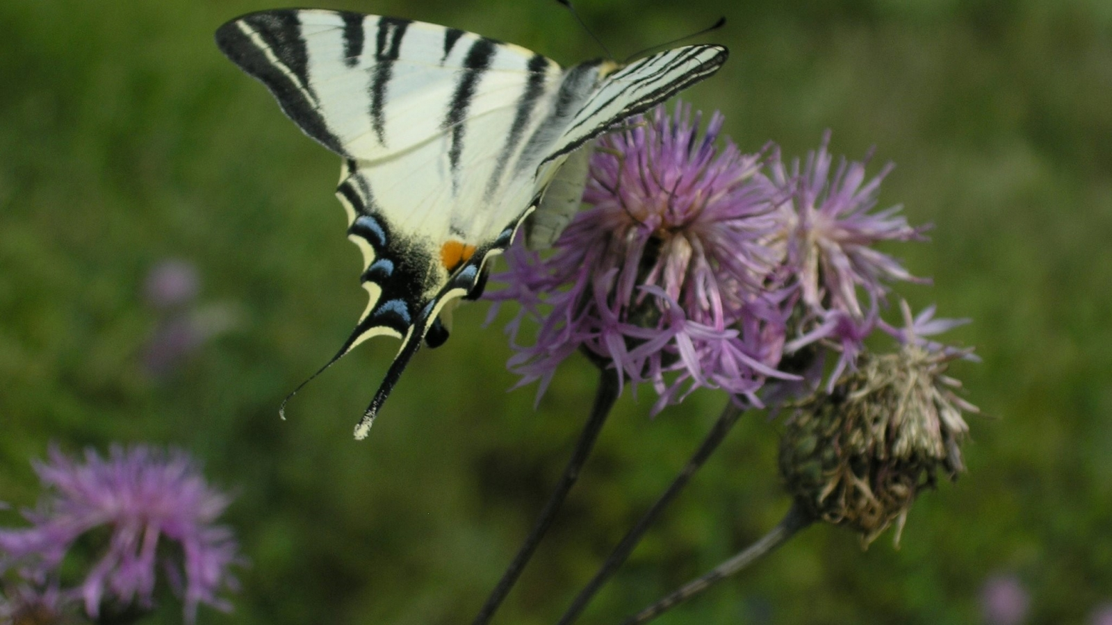 Butterfly, Scarce Swallowtail (Iphiclides podalirius) is included in the Red List of Moldova (Credit: FLEG programme)