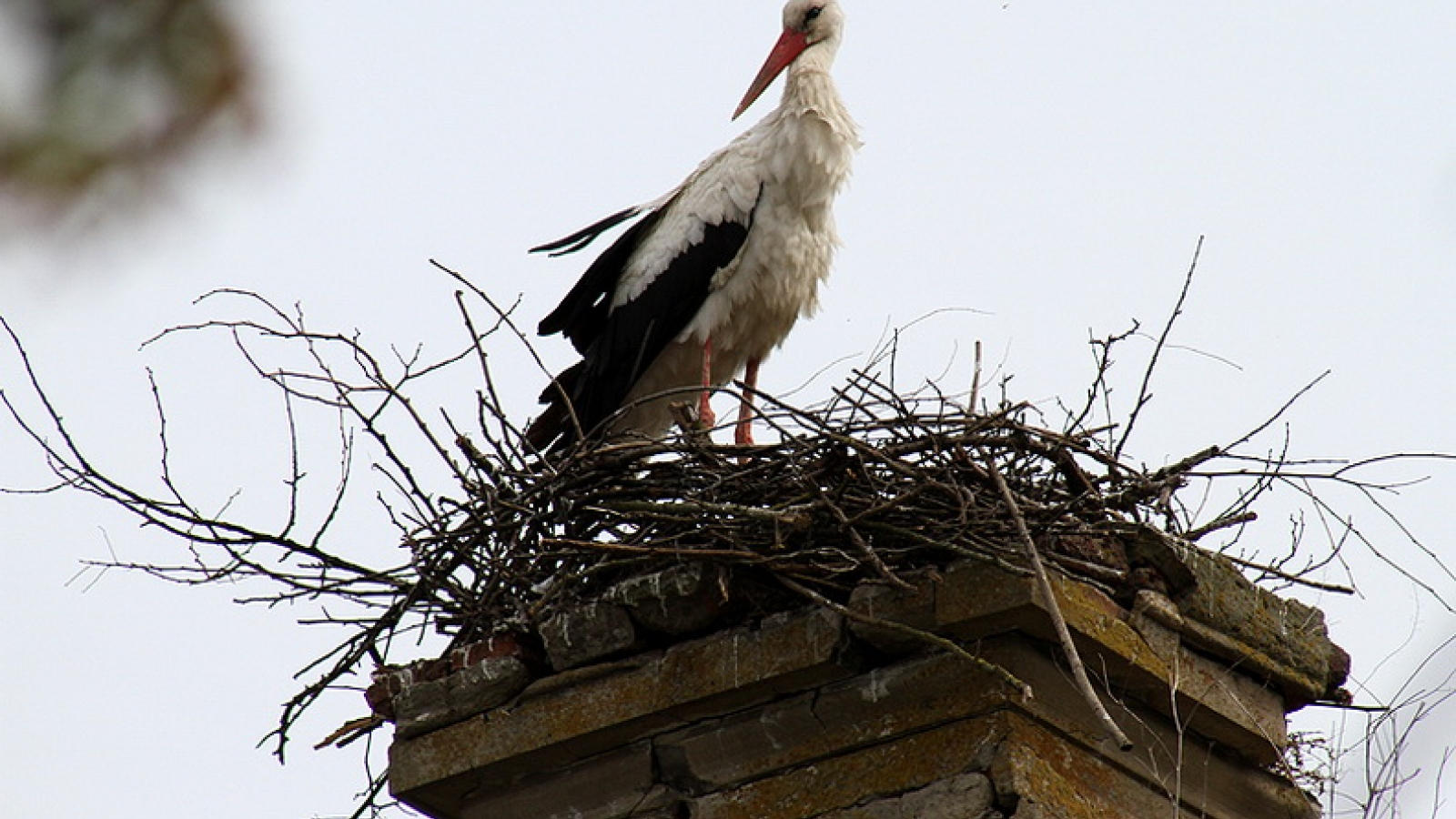 Stork in a nest. Ternopil Region of Ukraine, Okopy village. (Credit: Roman Malko)