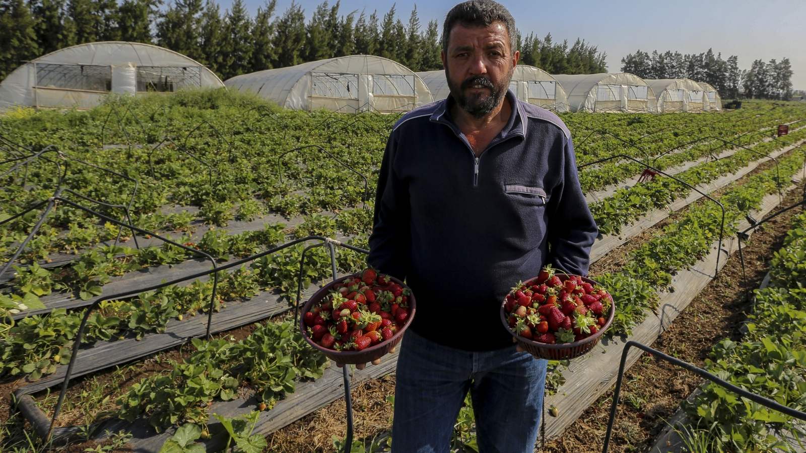 Mr. Georges al-Jammal in his strawberry field