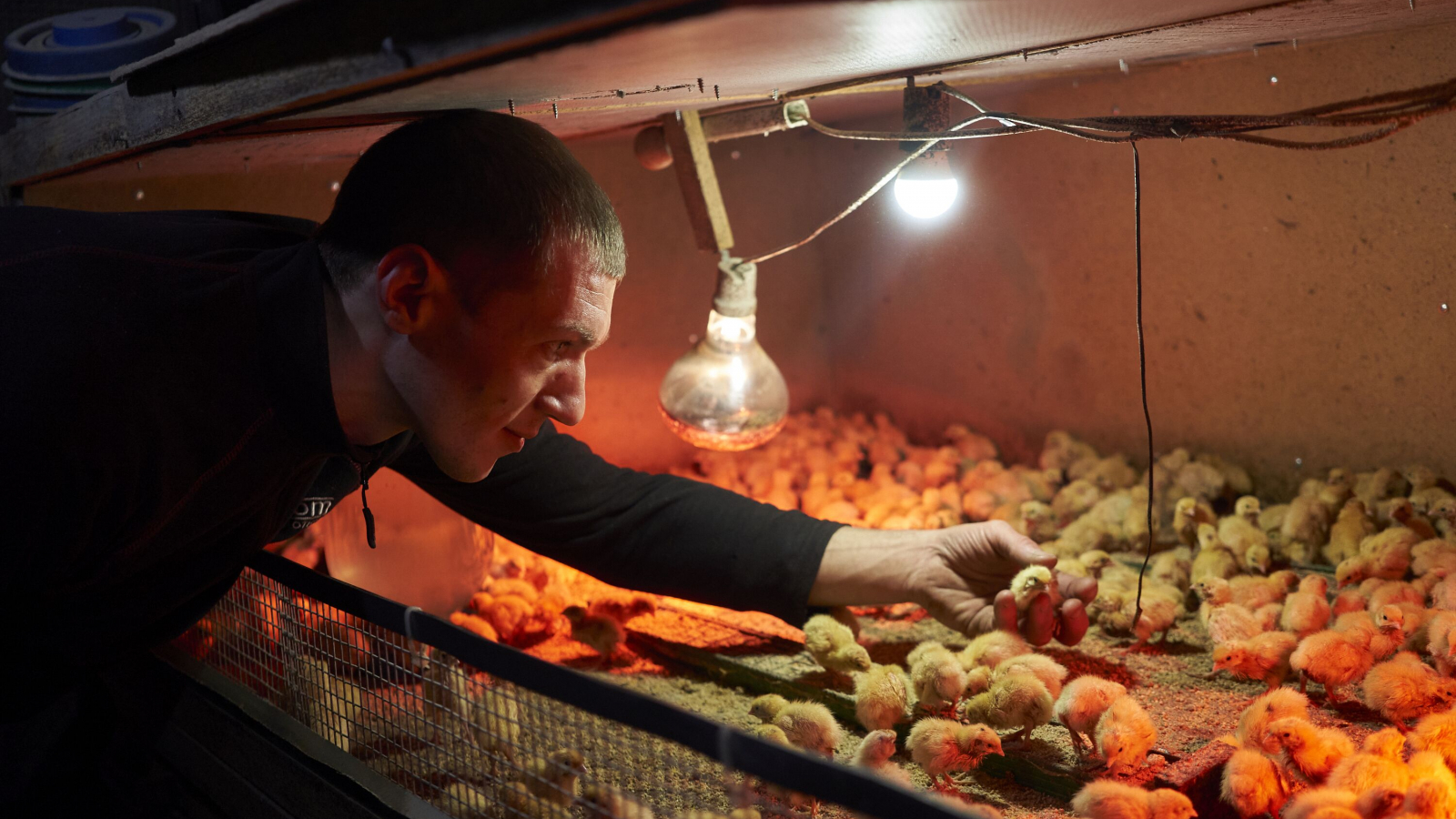 At half past six Yuriy Shamray is already in the poultry house